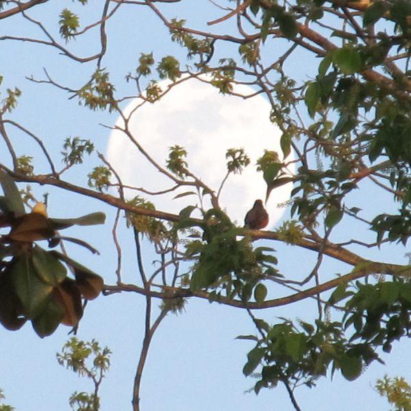 Moonrise Dove thumbnail