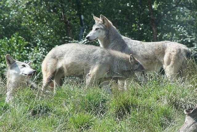 20121123083016wolves.jpg