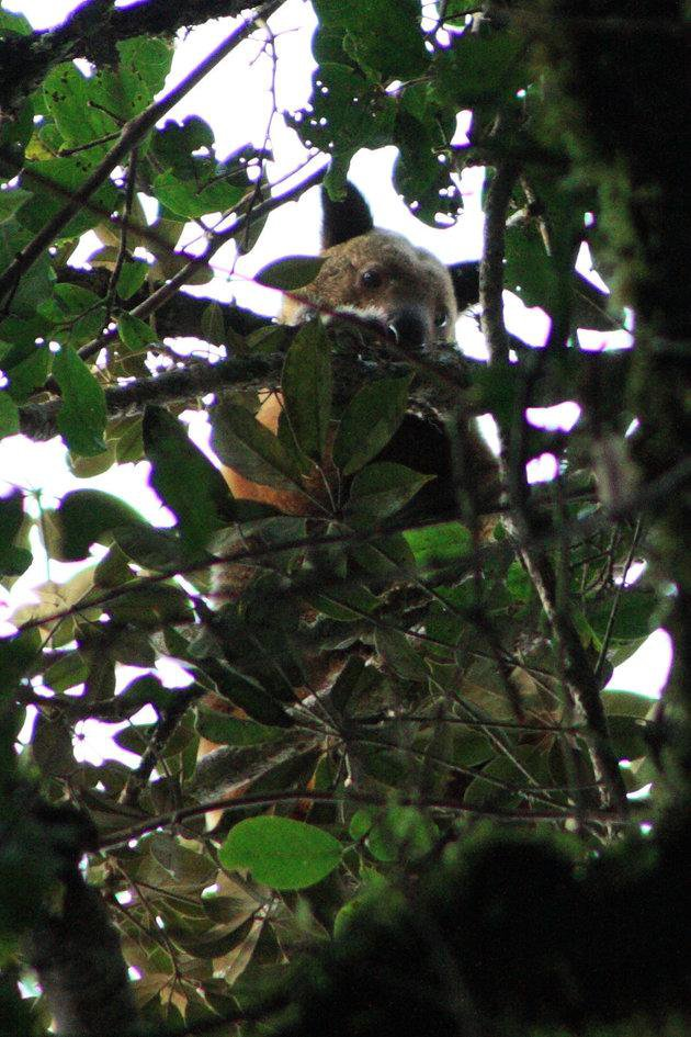 Elusive Tree Kangaroo Spotted for First Time in 90 Years