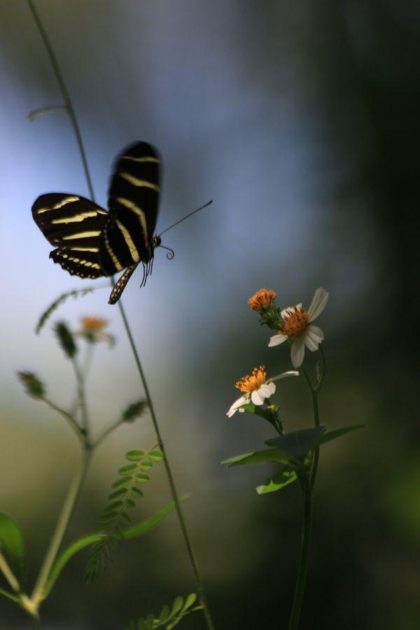 Poetry in Motion - Zebra Longwing Butterfly thumbnail