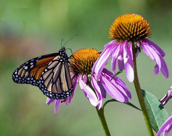 Monarch on Purple Coneflower thumbnail