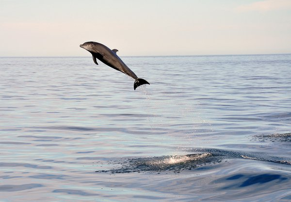 A young Bottlenose Dolphin checks us out as we moved to new dive site. thumbnail