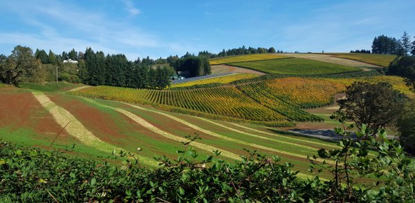 Rolling Vineyards in Willamette Valley, Wine Country, Oregon thumbnail
