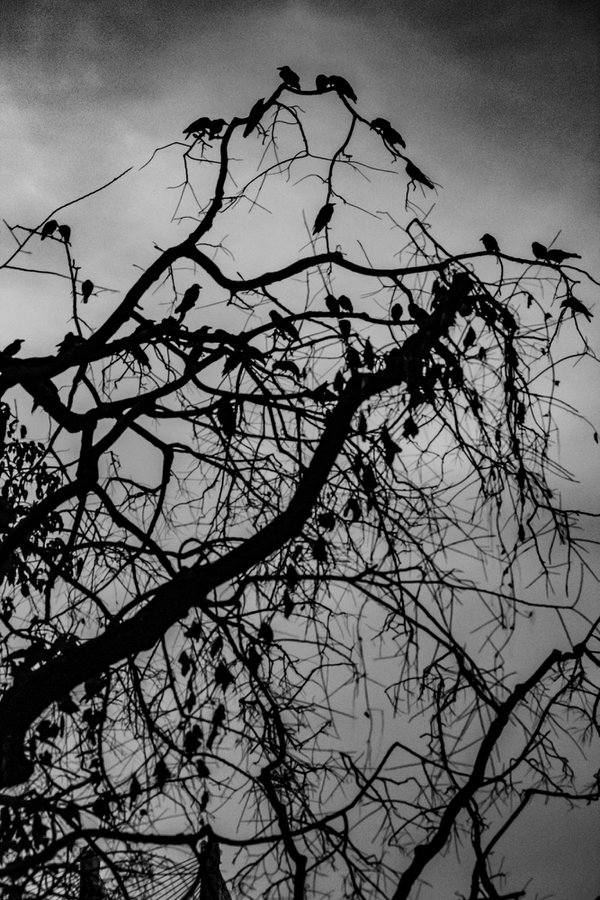 Murder of Crows. thumbnail