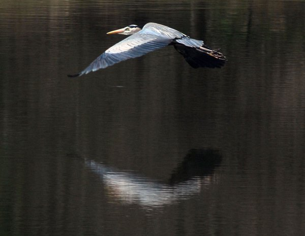 Great Blue Reflects in Flight thumbnail