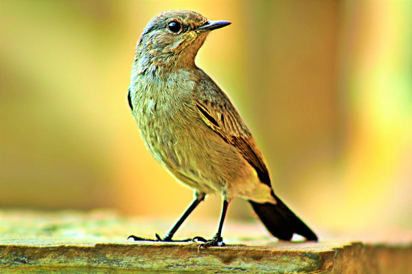 Isabelline wheatear Bird is isolated in blurred background thumbnail
