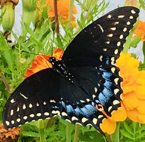 Swallowtail Butterfly and Marigolds thumbnail
