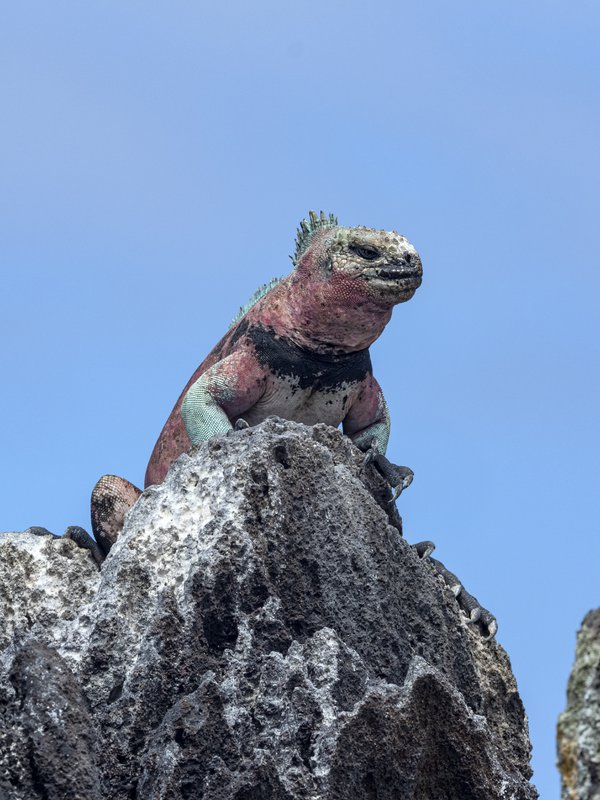 A Marine Iguana sitting on Lava rock in Espaniola thumbnail