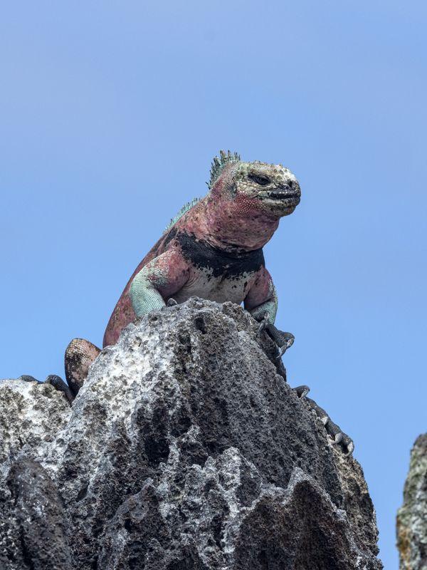 A Marine Iguana sitting on Lava rock in Espaniola thumbnail