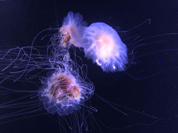 Jellyfish in a dark tank. thumbnail