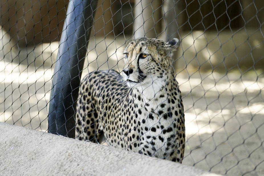 The cheetah population