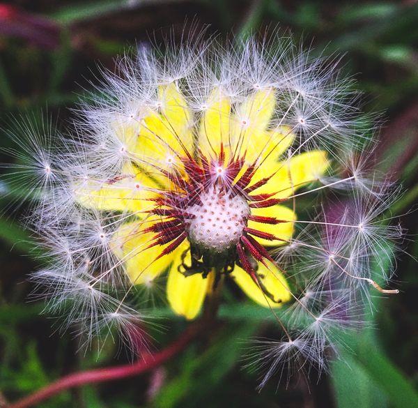 Dandelion & Texas false dandelion (Pyrrhopappus Carolinians) thumbnail