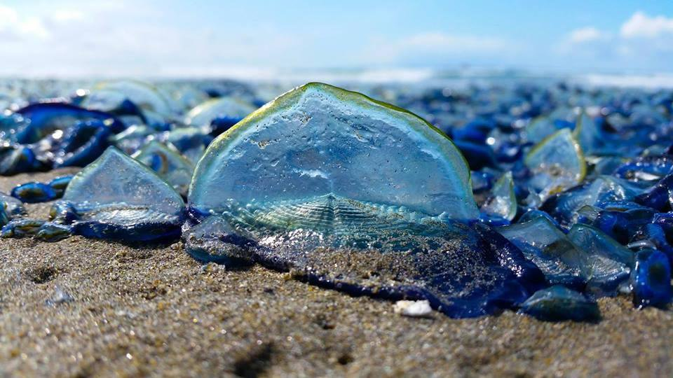 Droves of Elegant Blue Jellies Wash Up on Pacific Shores