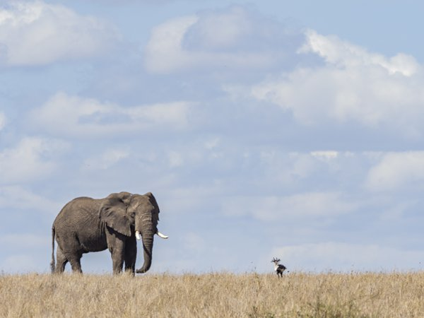 An Elephant and Secretary Bird staring at each other thumbnail