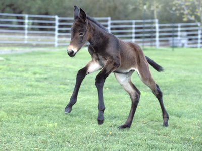 Idaho Gem, the first cloned mule, only two days old in this photo but already aww-inducing.