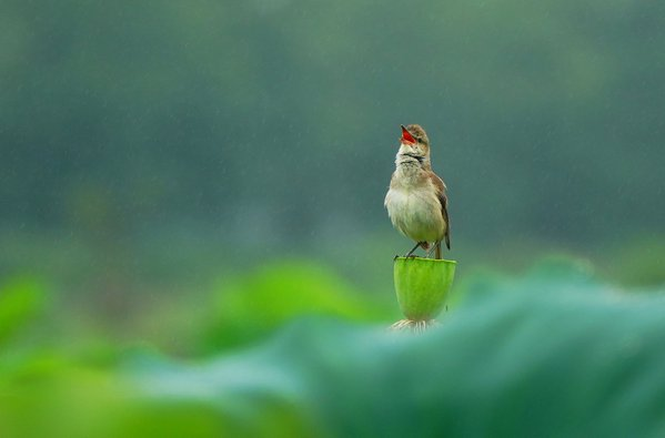 singing bird thumbnail