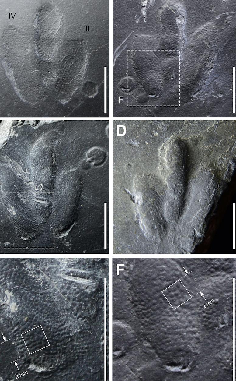 'Exquisitely Preserved' Skin Impressions Found in Dinosaur Footprints
