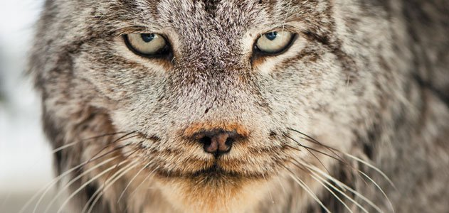 Lynx in Montana