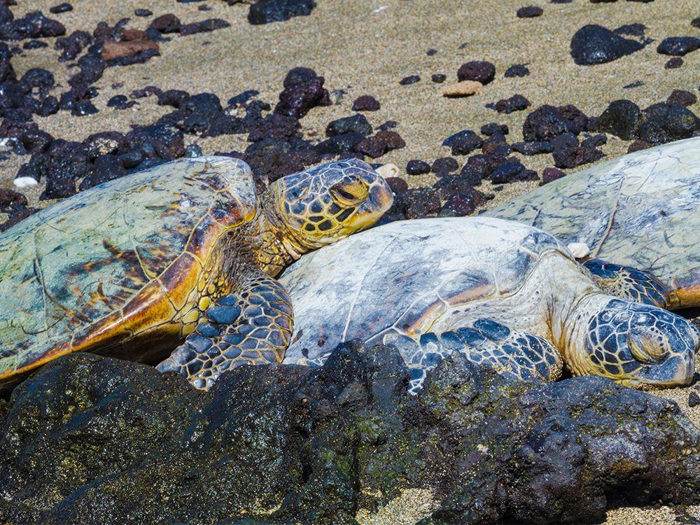 rare green sea turtle