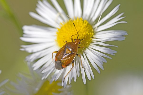 Red-spotted Plant Bug, Deraeocoris ruber thumbnail