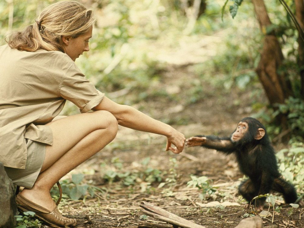 Goodall extends a hand to Flint, a young chimpanzee growing up in Gombe National Park.  (Baron Hugo van Lawick)