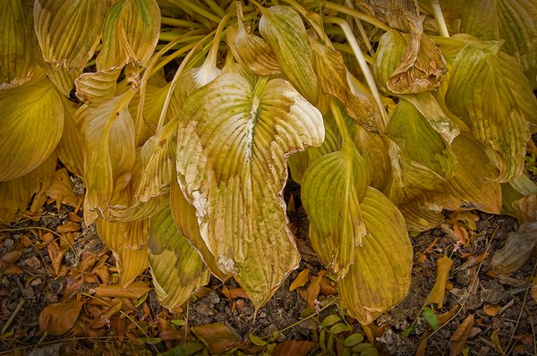 Torn and Wilted Hosta Leaves thumbnail