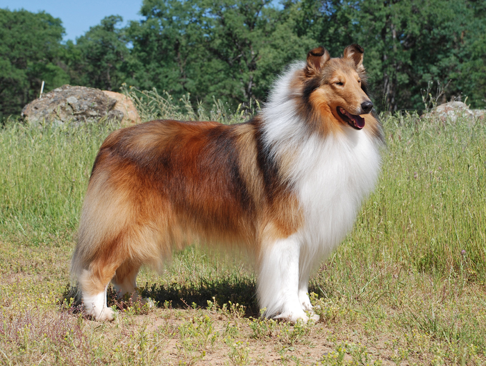 An image of a collie standing outside in a field of grass. The dog has a shaded yellow coat with white patches of fur on its chest, neck and legs.