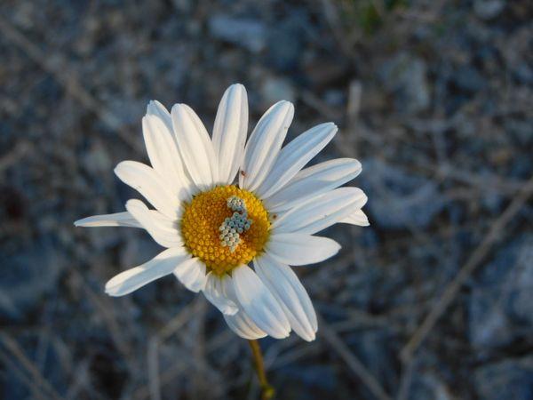 butterfly eggs on a wild daisy thumbnail