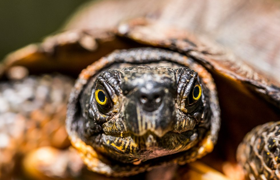 A wood turtle with dark, mottled, scaly skin and yellow eyes.