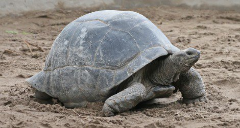Come learn about the Zoo's Aldabras tortoises.