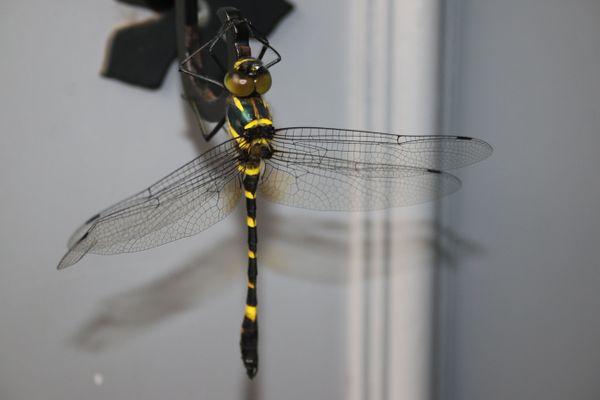 Dragon Fly door handle  thumbnail