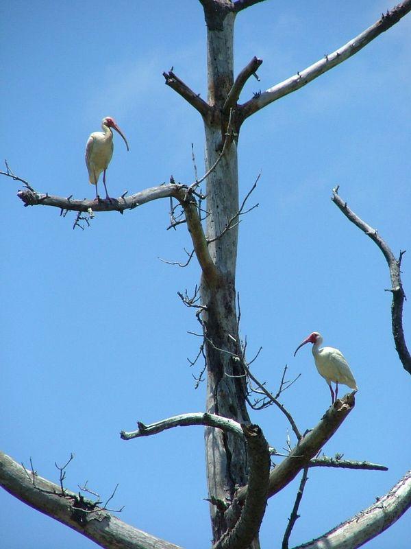 Pair of White Ibis on dead tree. thumbnail