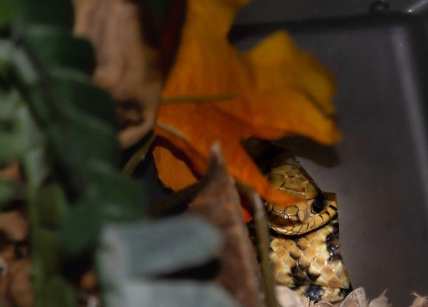 Snake in Waiting thumbnail