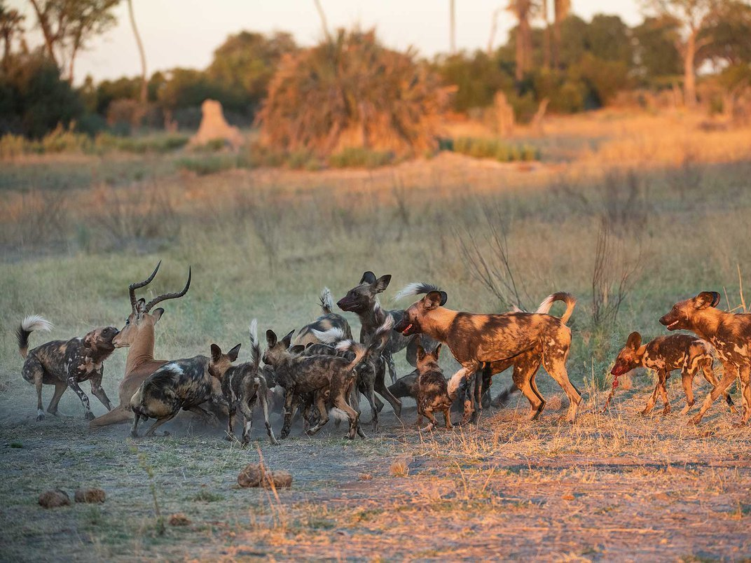 Endangered Wild Dogs Rely on Diverse Habitat to Survive Around Lions