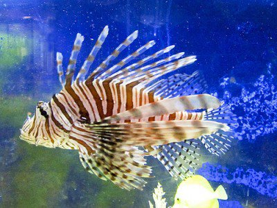 20110520090137lionfish-400x300.jpg