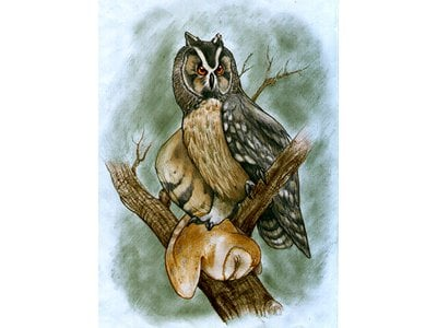 Newly discovered fossils indicate the Asio ecuadoriensis owl hunted and ate various smaller species of owl.