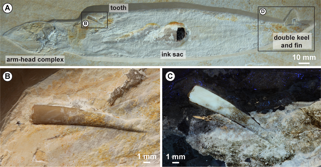 Pterosaur Tooth Found in Rare Ancient Squid Fossil