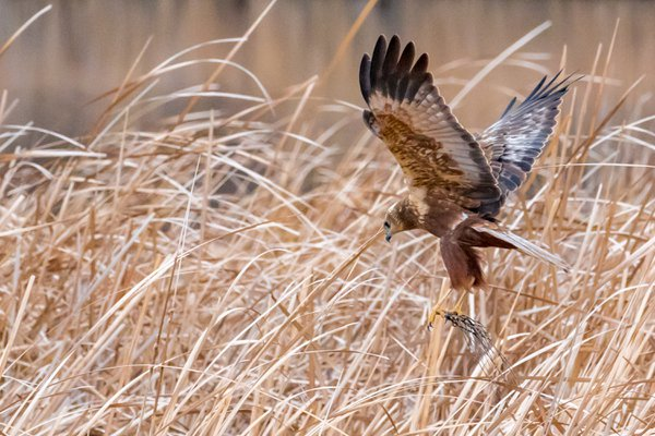 Eurasian Marsh Harrier thumbnail