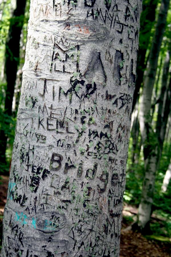 This is the modern natural world. A tree vandalised by people scrtching in their names in Canada. thumbnail