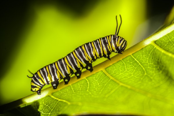monarch butterfly caterpillar thumbnail