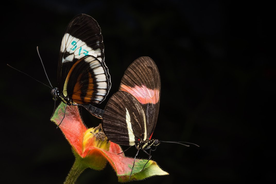 The Reason These Poisonous Butterflies Don't Mate Is Written in Their DNA