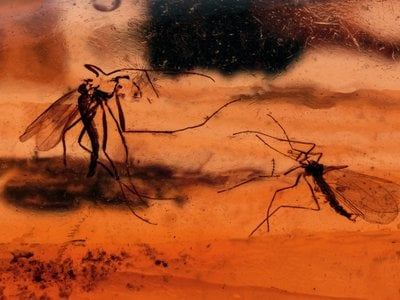 The first insect found trapped in ancient amber wasn't a mosquito, but an overstuffed weevil.
