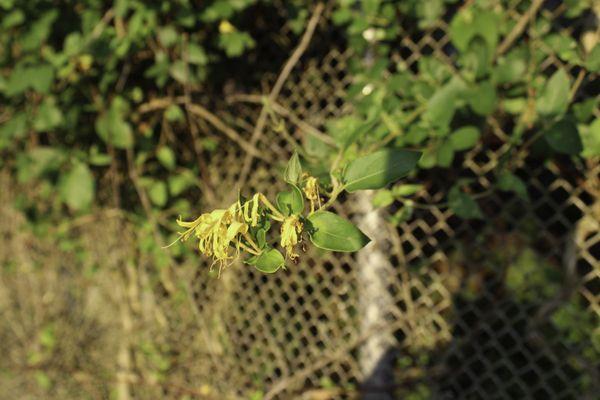 Honeysuckle Sunset thumbnail