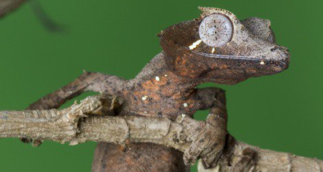 The Leaf-tailed Gecko