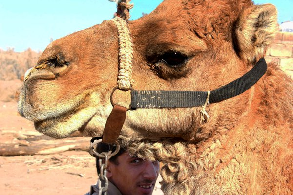Ultra light camel thumbnail