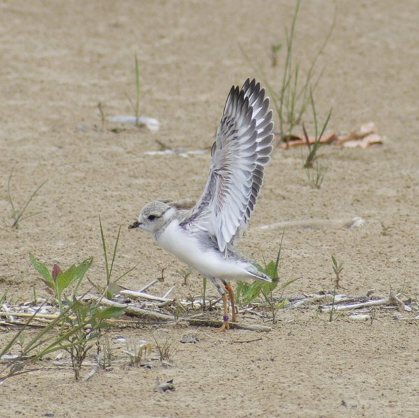 Esperanza, an endangered piping plover fledgling stretches their wings. thumbnail
