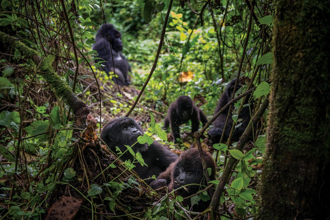 How Africa's Mountain Gorillas Staged a Comeback