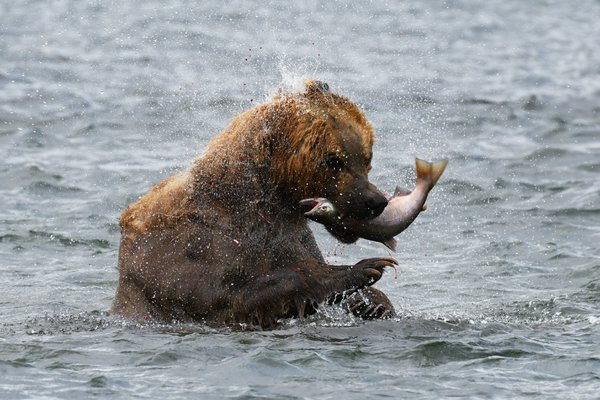 Brown bear catching salmon thumbnail
