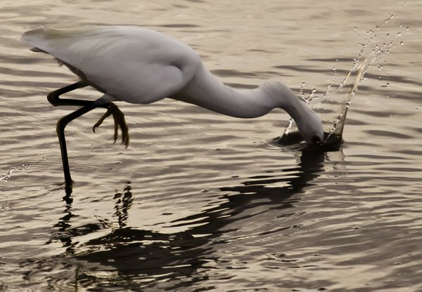 Snowy egret dives for a snack. thumbnail