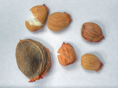 An apricot seed and the kernels found within them